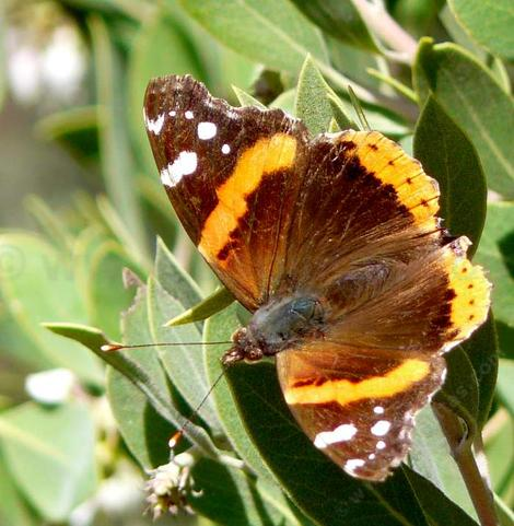 Red Admiral Butterfly sunning  on Arctostaphylos pungens. - grid24_12