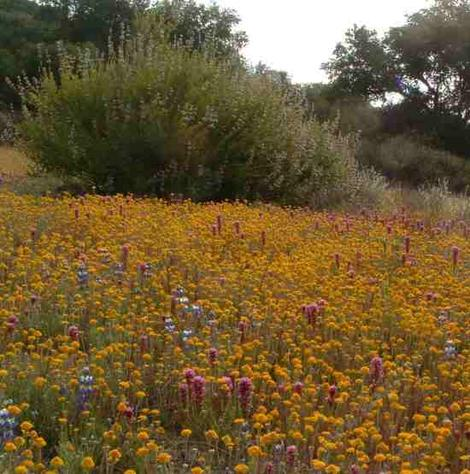 California wildflower patch with NO WEEDS. Pinchusion, Owlsclover and field lupine - grid24_12