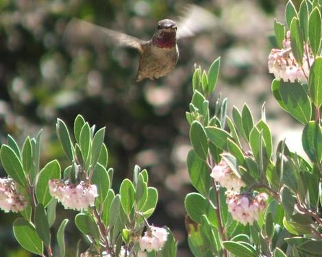 A male Anna's Hummingbird working the flowers of Mexican manzanita. - grid24_12