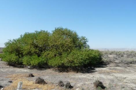 Prosopis glandulosa torreyana, Honey Mesquite out in Buttonwillow - grid24_12