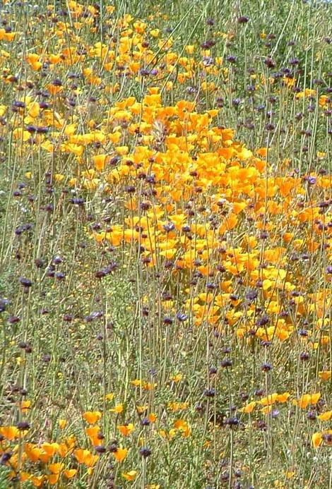 A hillside of Chia and California Poppy - grid24_12