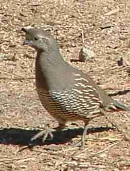 a female California quail - grid24_12