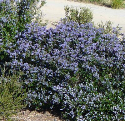Ceanothus Celestial Blue is a very showy mountain lilac. - grid24_12