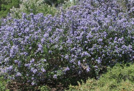 Ceanothus Frosty Blue can be a very showy mountain lilac. - grid24_12