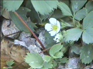 Fragaria virginiana ssp. platypetala (F. virginia), Western Alpine Strawberry, grows mostly in the mountains of California in moist areas in the forests.