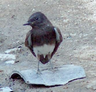 A Black Phoebe on  broken pot - grid24_12