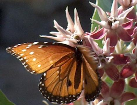 Striated queen butterfly on a Showy milkweed - grid24_12