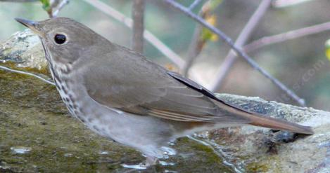 Mr. Hermit Thrush at bird bath. - grid24_12