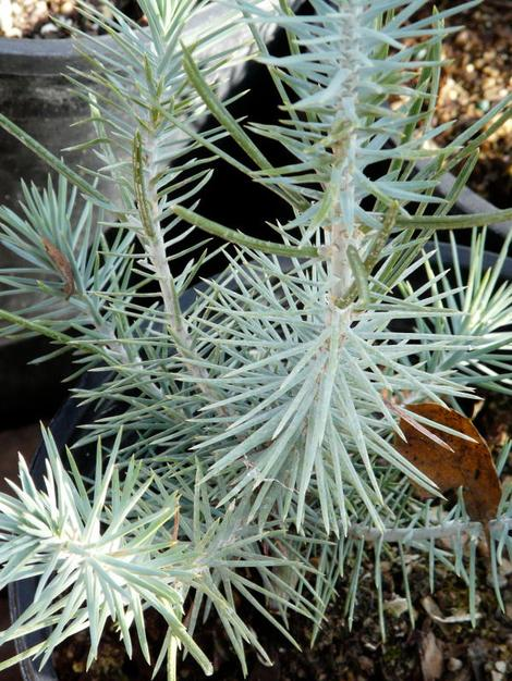 Pinus edulis, Pinyon Pine, a slow-growing pine, but worth waiting for, is pictured here in the Santa Margarita nursery.
