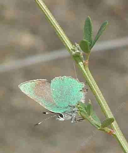 Lotus scoparius, Deerweed, is a larval food plant for the Bramble Hairstreak Butterfly.  - grid24_12