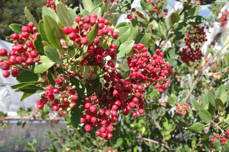 Heteromeles arbutifolia, Toyon berries are loved by native birds. The berries start getting ripe in November and are heavily eaten in December and January. - grid24_12