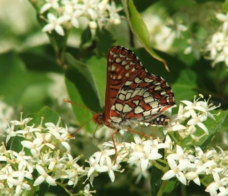 Cornus glabrata, Brown Twig Dogwood with Checkerspot - grid24_12