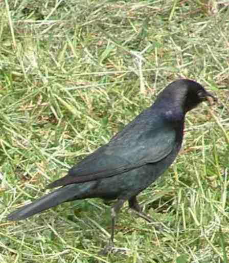 A Brewer's Black Bird looking for bugs and worms in a lawn. Folks water the lawns so much the birds see them as marshes. - grid24_12