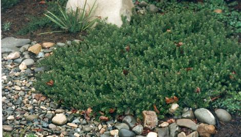 An old photo of Arctostaphylos Carmel Sur