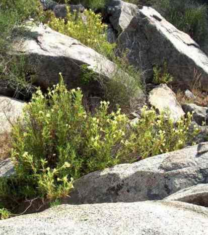 The Sierra Monkey flower up by Three Rivers - grid24_12