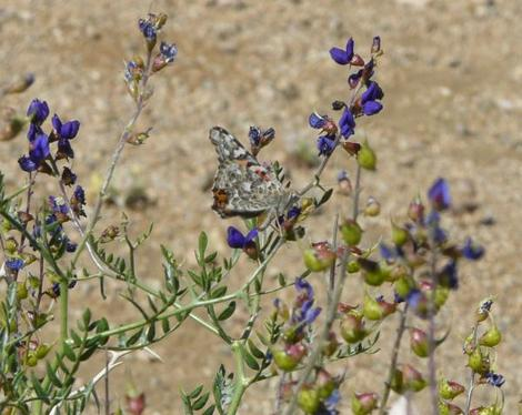 Dalea (Psorothamnus) fremontii, Indigo Bush, is here visited by a butterfly of the desert, near Ridgecrest, California.