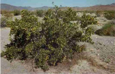 A Creosote Bush in Creosote woodland. - grid24_12