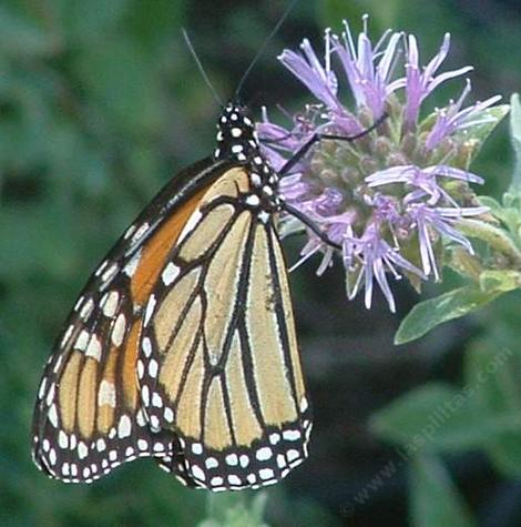 Monardella villosa, Coyote Mint,  with a Monarch Butterfly - grid24_12