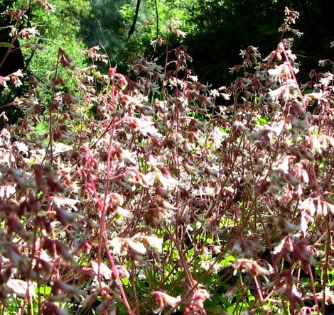 Heuchera hirsutissima, Idyllwild Rock Flower, is here shown massed together, in its natural mountain habitat.  - grid24_12