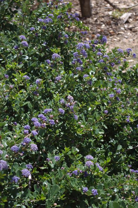 Ceanothus gloriosus Heart's desire makes a great small mounding groundcover. Excellent as a sidewalk border or if up against a wall,as shown here,  foundation plant. - grid24_12