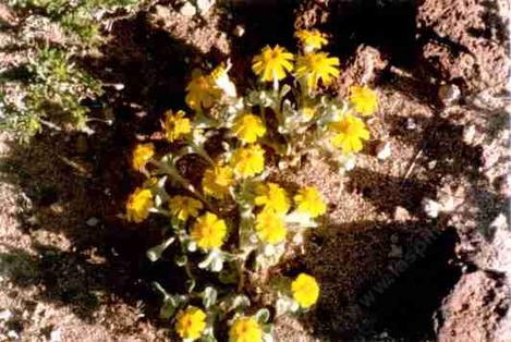A Eriophyllum wallacei in the openings of Creosote desert scrub - grid24_12