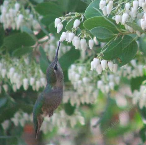 Anna Hummingbird working the flowers of Dr. Hurd manzanita - grid24_12