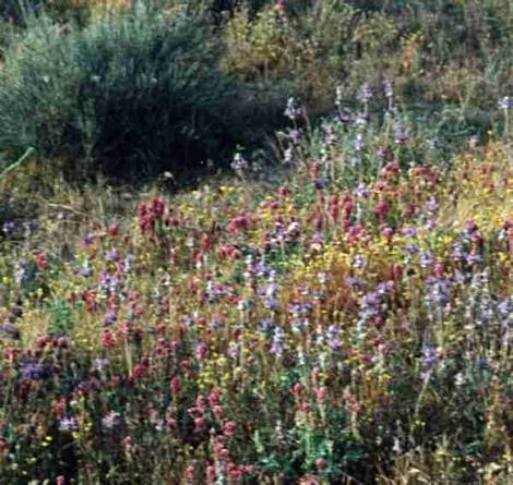 an old photo of Shadscale scrub with the wildflowers. - grid24_12