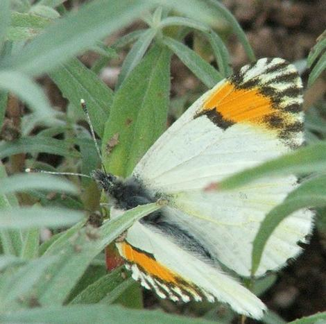 Sarah Orange Tip - grid24_12