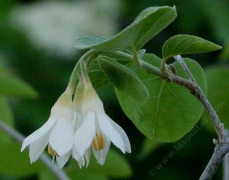 Styrax officinalis fulvescens, Southern Snowdrop bush in flower.