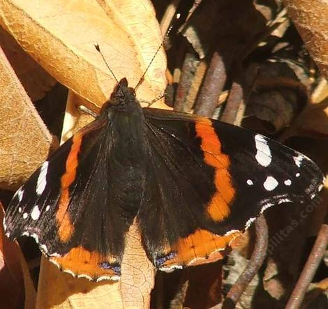 Red Admiral Butterflies are generally very hard to get a good photo of. But when they first pop out in early spring they're a little slow. - grid24_12