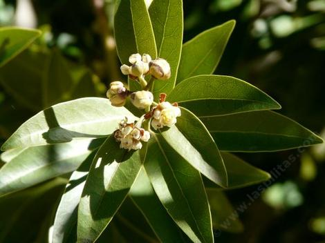 Umbellularia californica, Bay Laurel flowers are pollinated by flies and gnats. - grid24_12