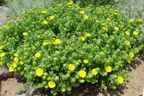 Grindelia stricta venulosa, this  Gum Plant makes a small ground cover on coastal bluffs.