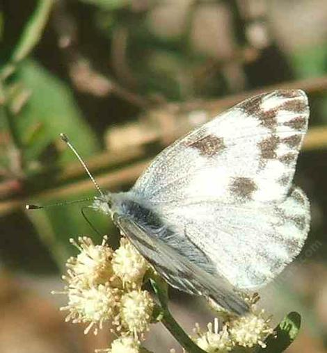 Common White Butterfly, Pontia protodice on Baccharis  - grid24_12