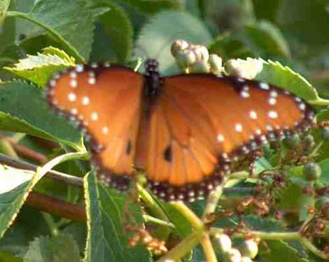 A striated queen butterfly on an elderberry - grid24_12