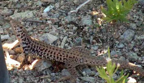 Things are not looking up for the Western Whipatil lizard. They really do not survive in weeds. - grid24_12