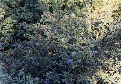 Ceanothus lemmonii has a grey look to it with green and blue mixed in.