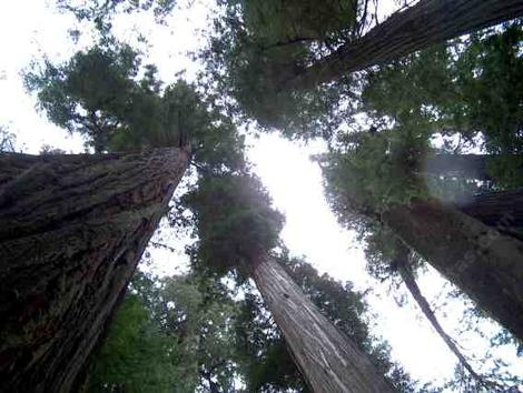 looking up into the coastal redwoods - grid24_12