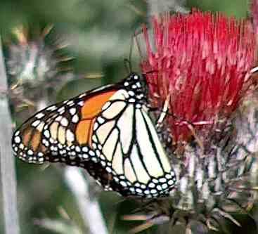 Monarch Butterfly, Danaus plexippus on a native red thistle - grid24_12