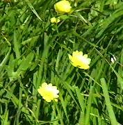Ranunculus californicus Buttercup, Crowfoot