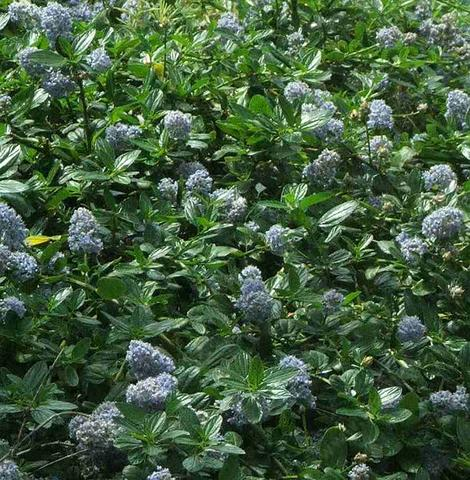 Ceanothus thyrsiflorus repens looks great in a north slope or part shade garden - grid24_12