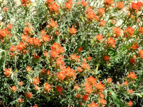 Castilleja foliolosa Woolly Indian Paintbrush - grid24_12