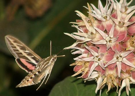 white lined sphinx moth working the flowers of showy milkweed, Asclepias speciosa - grid24_12