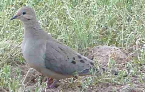 Mourning Dove that we commonly see in the morning. - grid24_12