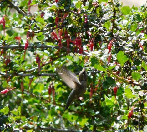 Ribes specosum, Fuchsia flowered Gooseberry, in flower with Anna Hummingbird. - grid24_12