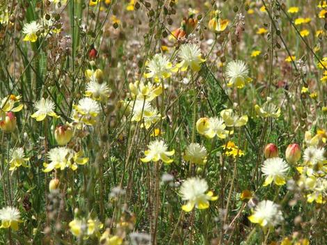 Platystemon californicus, Cream Cups out in Carrizo Plains - grid24_12