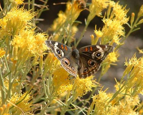 A Buckeye butterfly sipping nectar from a flower of Chrysothamnus nauseosus, Rabbitbrush.