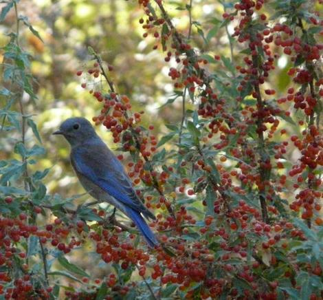Western Bluebird on Mahonia nevinii, (syn. Berberis nevinii) Nevin's Barberry berries.