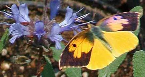 A Dogface butterfly on a California sage. - grid24_12