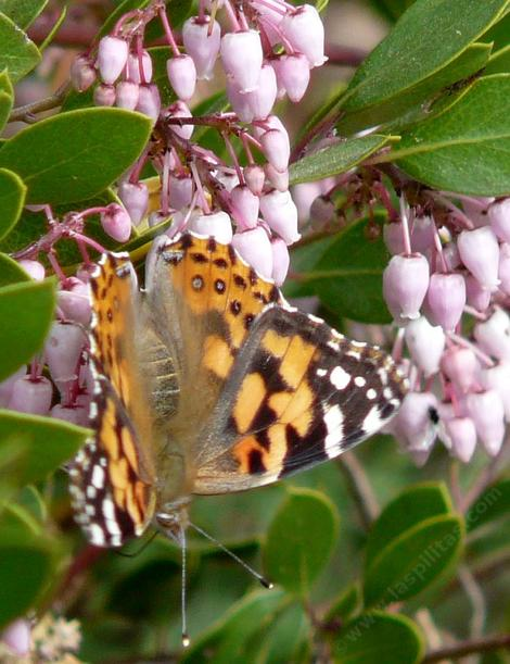 Howard McMinn manzanita with a Painted Lady Butterfly