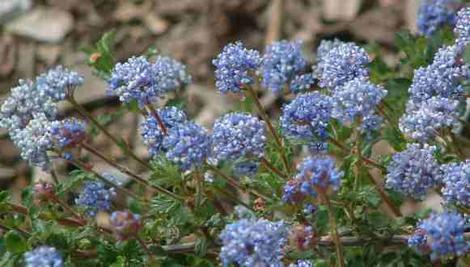 Ceanothus foliosus will grow flat in an exposed area with wind.